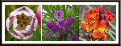 tulip, lamium and wallflower