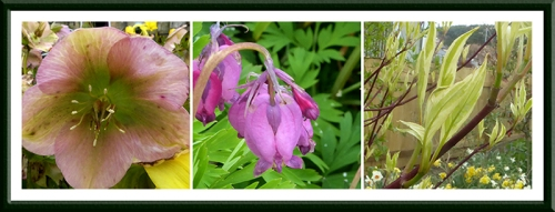hellebore, dicentra and dogwood