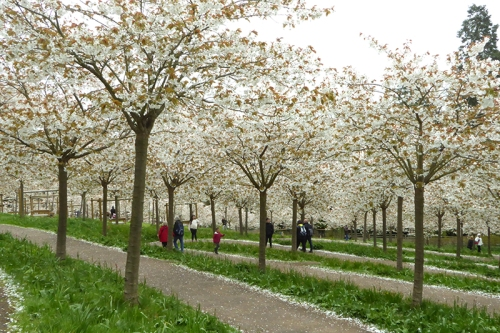 alnwick cherry trees