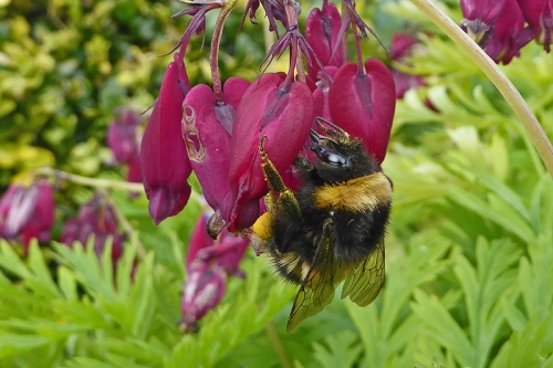 dicentra with bee