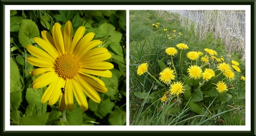 dandelion and yellow flower