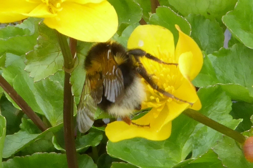 marsh marigold with bee