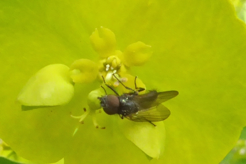 fly on euphorbia