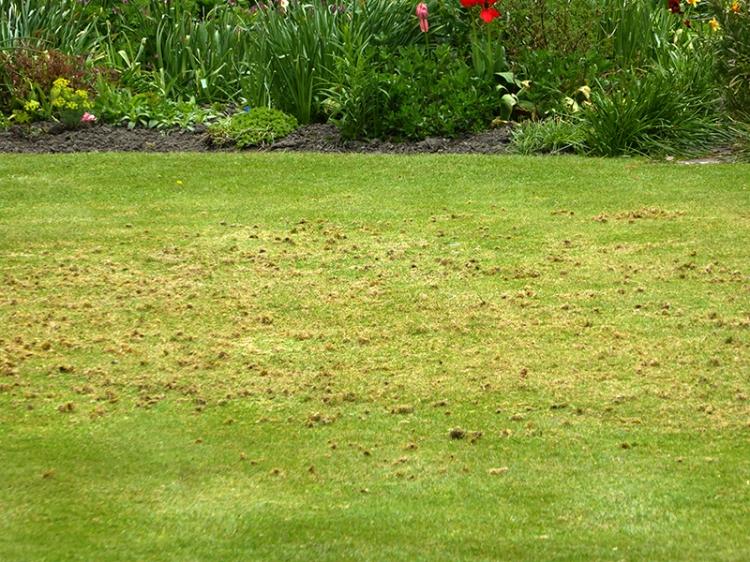 jackdaws lawn pecking