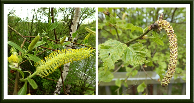 catkins and flowers on trees