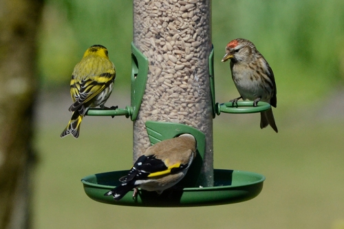 redpoll, siskin and goldfinch