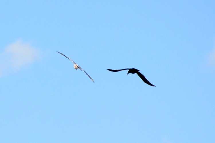 oyster catcher and crow