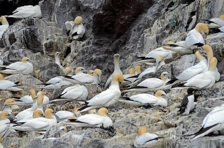 gannets Bass Rock