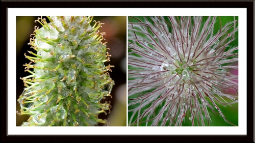willow and pulsatilla
