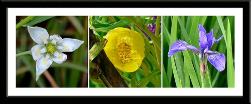 Star of Bethlehem, tree peony and iris Siberica