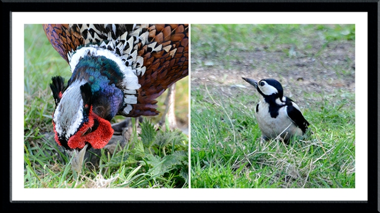 pheasant and woodpecker