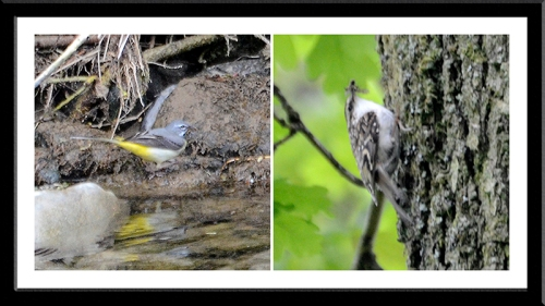wagtail  and tree creeper