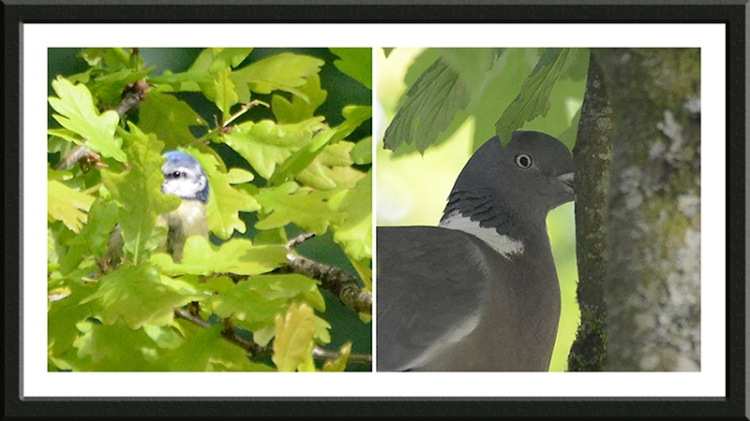 blue tit and wood pigeon