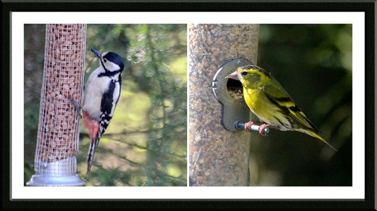 woodpecker and siskin