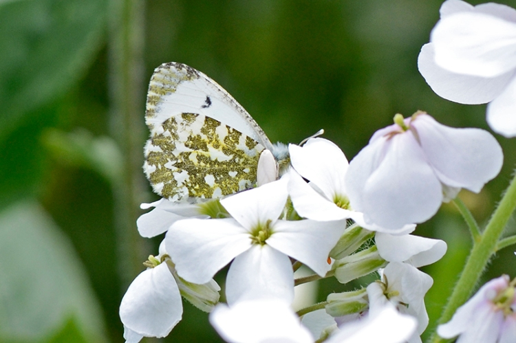 sweet rocket and orange tip butterfly