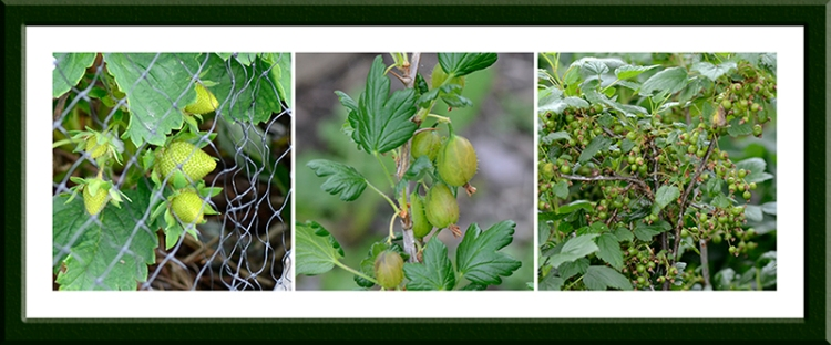 strawberries, gooseberries and blackcurrants
