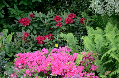 japanese azalea and rhododendron