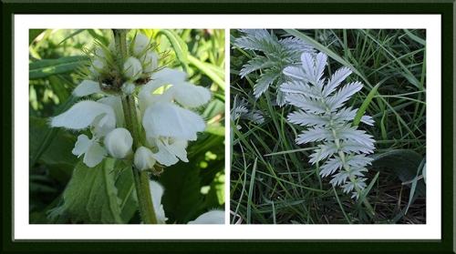 nettle and silverweed