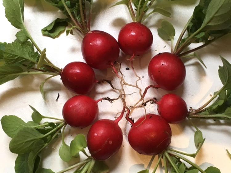 Annie's radishes