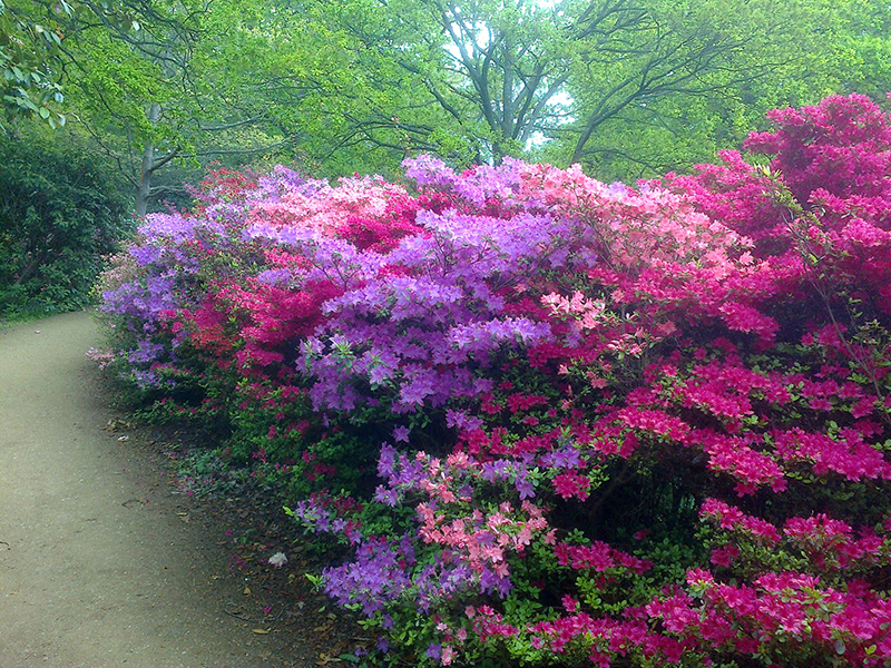 Isabella Plantation, Richmond Park 29.04.17 004