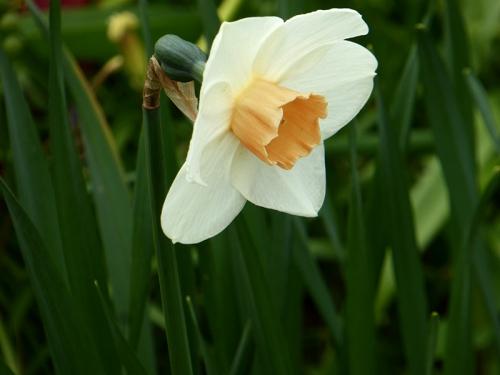 late daffodil