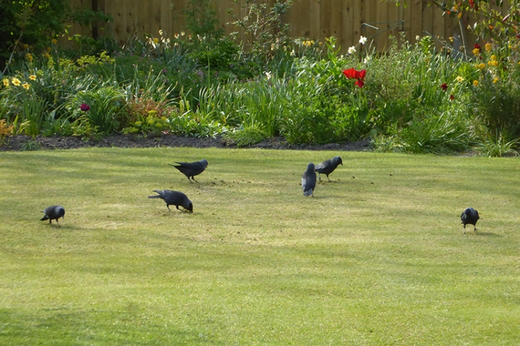 jackdaws on lawn