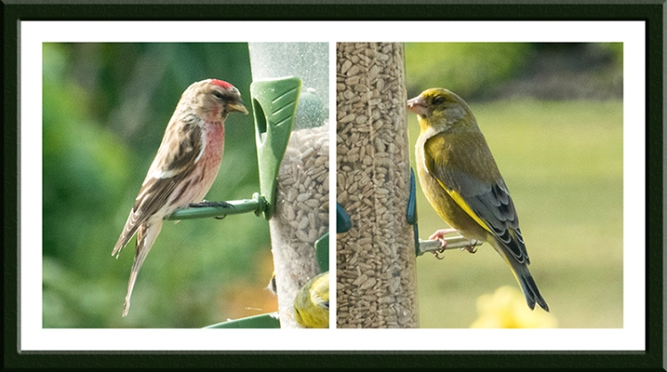 perching birds, redpoll and greenfinch
