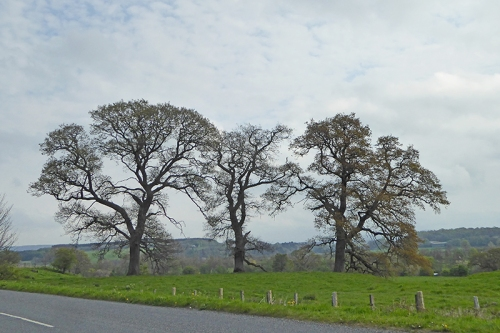 Canonbie trees