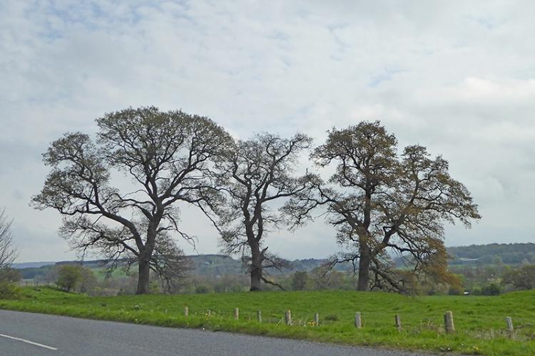 Canonbie trees
