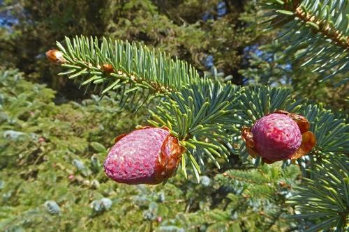Spruce flower cones