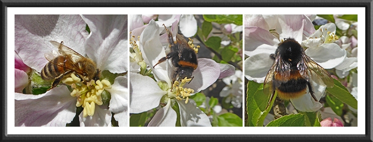 bees on apple