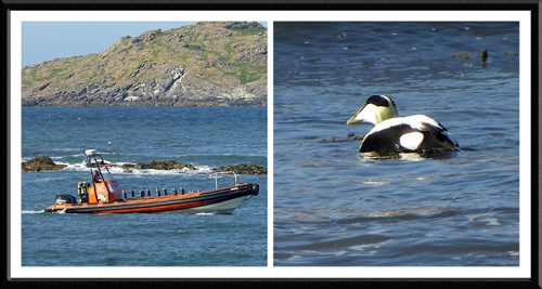 rib boat and eider duck