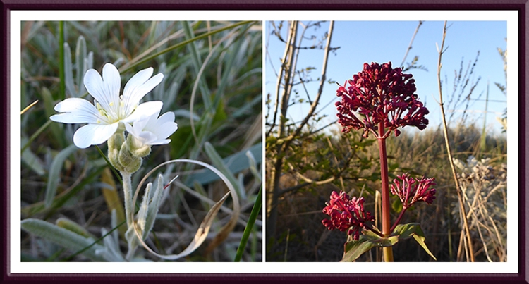 wild flowers North Berwick