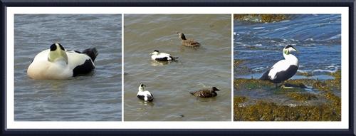 eider ducks