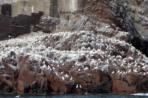 gannets  Bass Rock