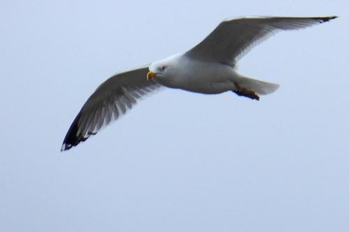 berwick gull