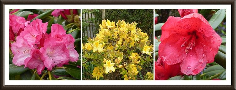azalea and rhododendron