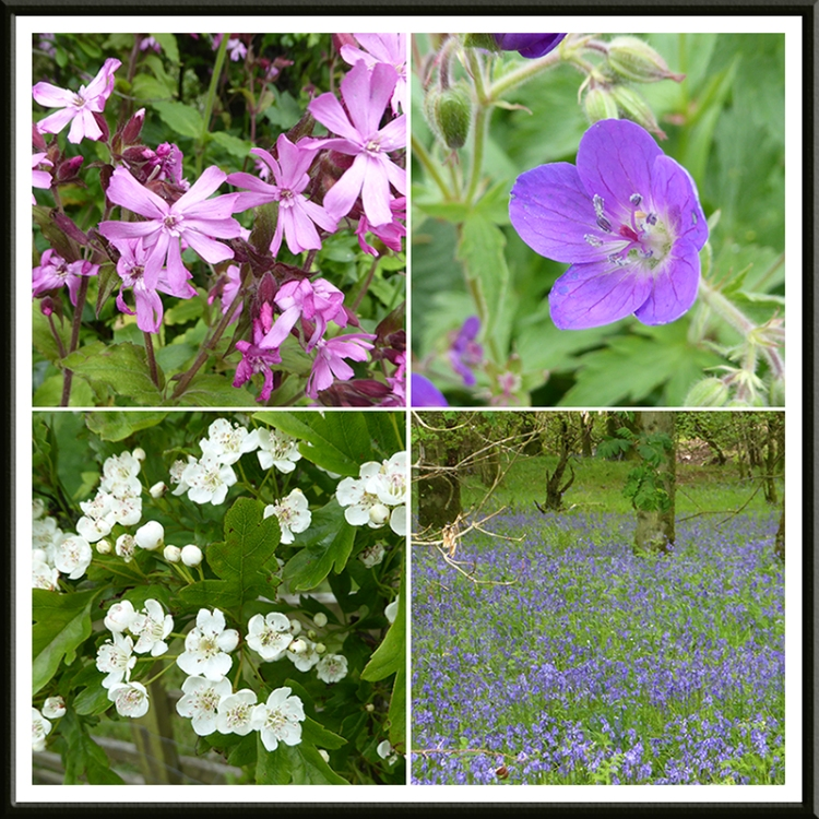 red campion, cranesbill, hawthorn and more bluebells