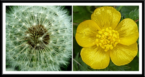 dandelion and buttercup