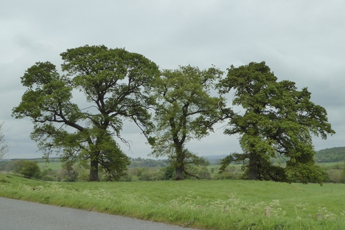 three canonbie trees