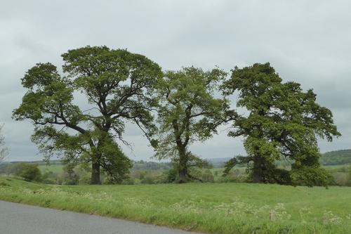 three canonbie trees
