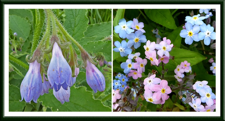 comfrey and forget me not