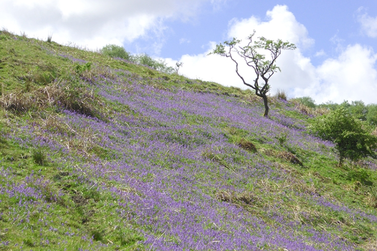 Wauchope valley with bluebells