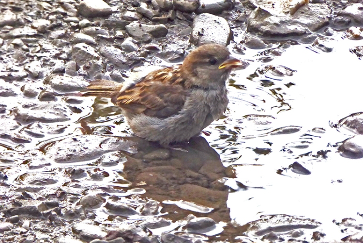 sparrow in puddle