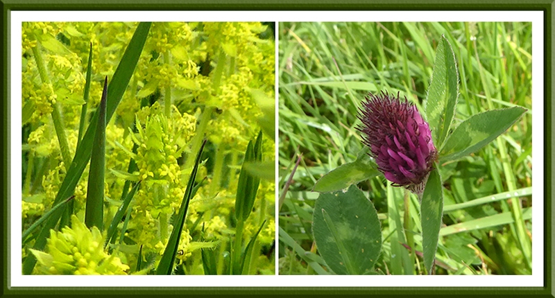 crosswort and clover