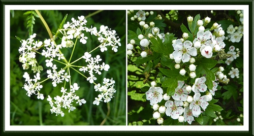 cow parsley and hawthorn