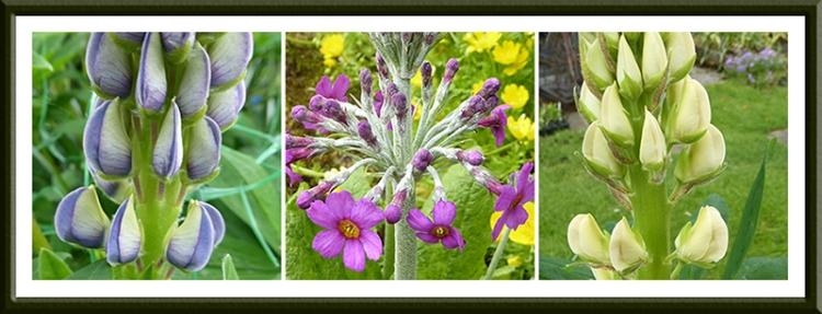 lupins and primula