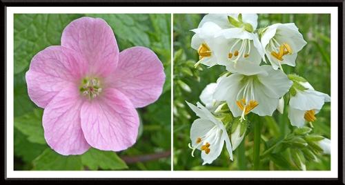 geranium and polemonium