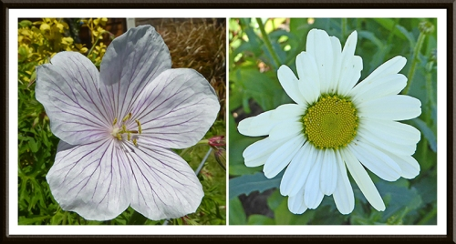 geranium and ox eye daisy