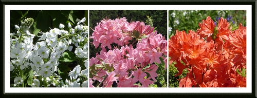 veronica and azaleas